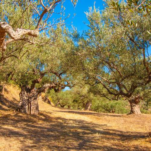 Lokas Olive Oil ιστοσελίδα